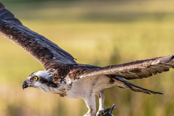 Osprey (pandion haliaetus) with a large rainbow trout is chased by a white pelican.