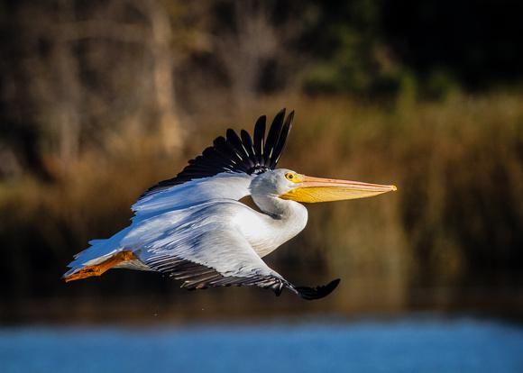 Great White Pelican (Pelecanus onocrotalus) in flight.