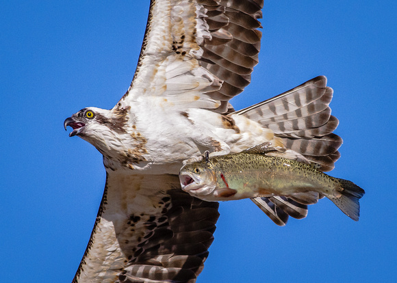 Osprey (pandion haliaetus) with a large rainbow trout.